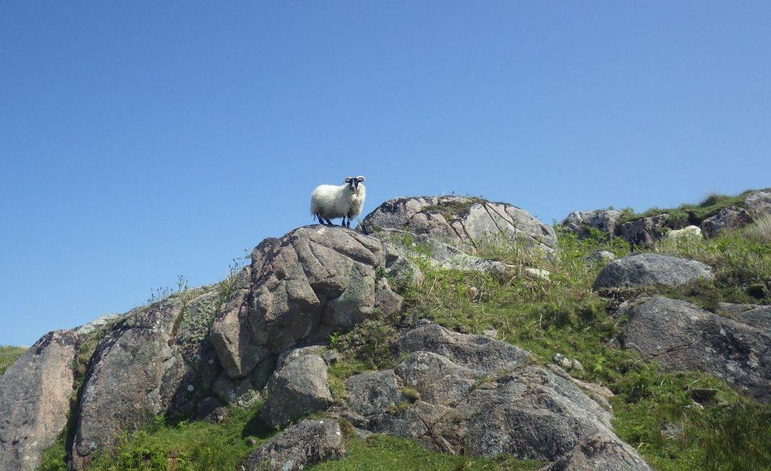 Sheep on Scottish island