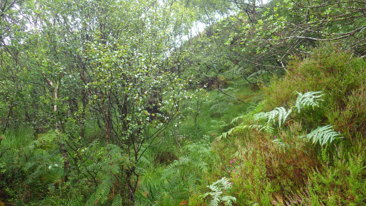 Scotislands Carna vigitation undergrowth