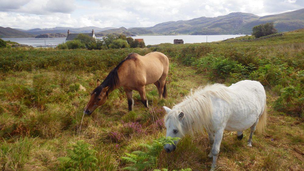 Scottish Islands island ponys