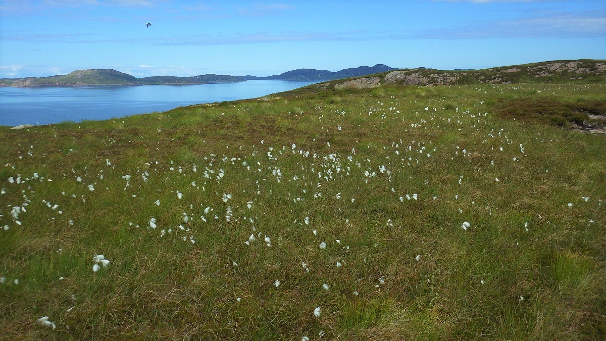 Scottish Islands cotton meadow