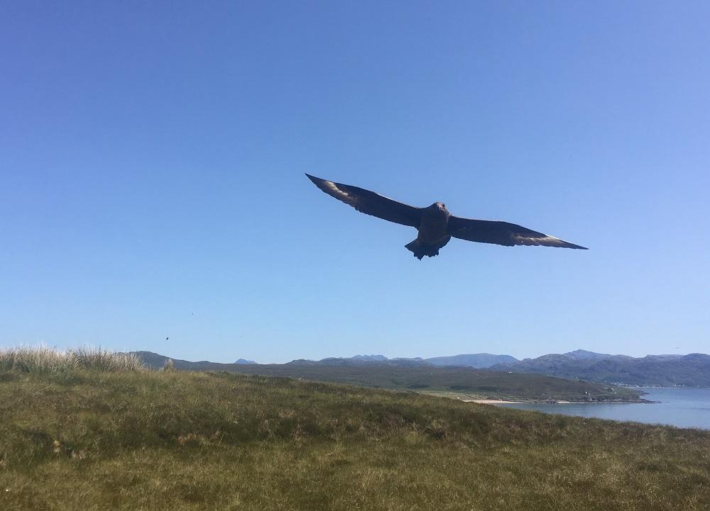 Skua bird flys low