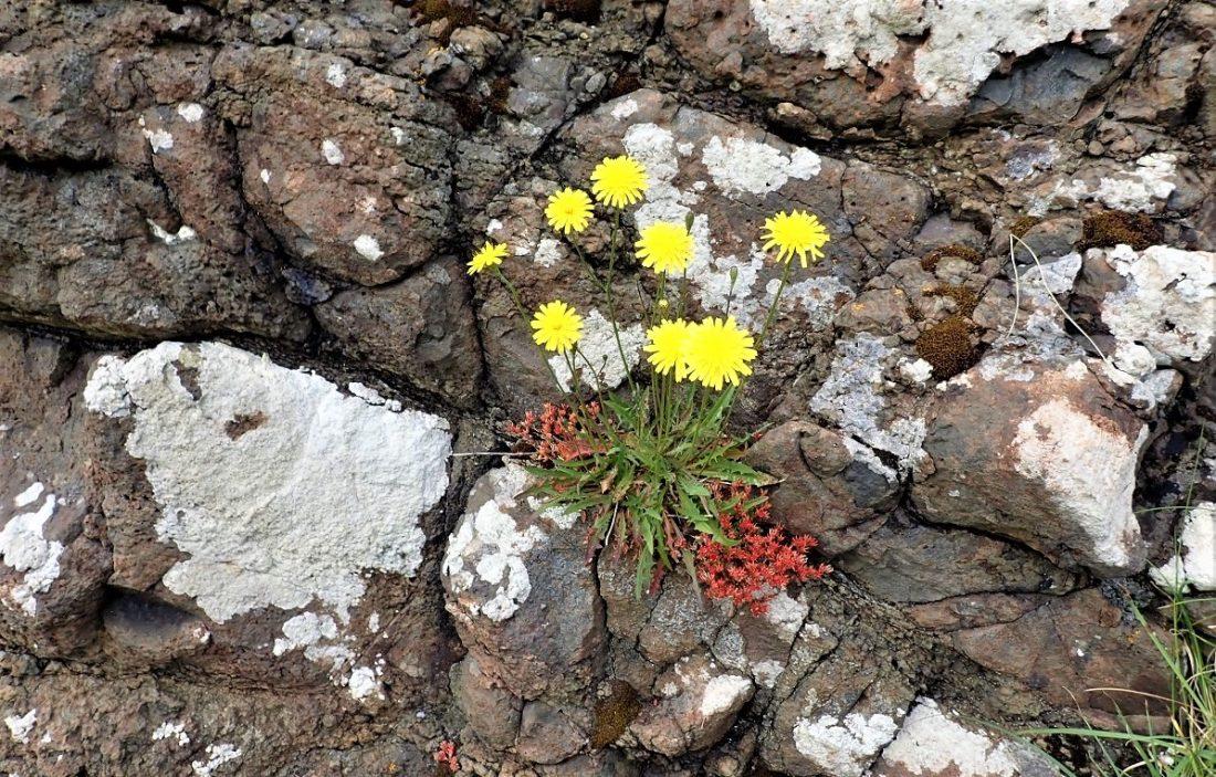 Flower on Staffa