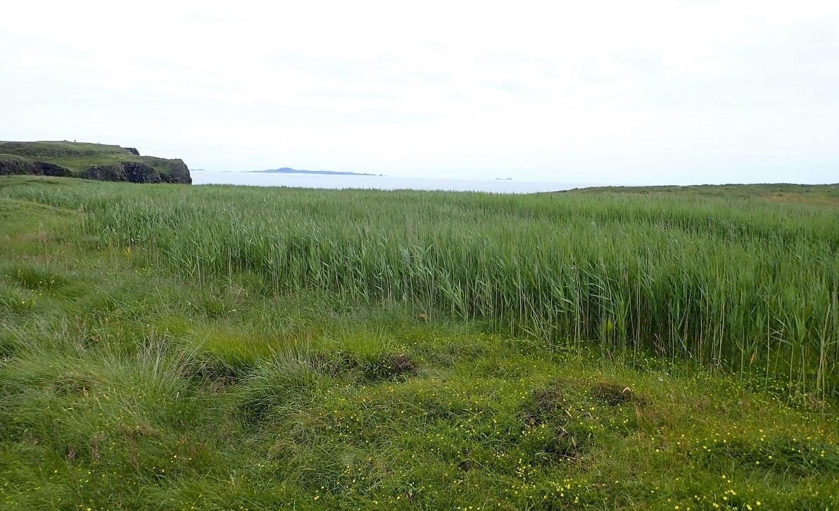 Staffa reeds on top of island